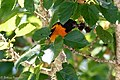 Baltimore Oriole (male) Boy Scout Woods High Island TX 2018-04-11 12-01-27 (41800398351).jpg
