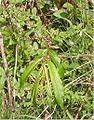 Bandwilg Salix 'Sekka' bladeren.jpg