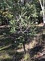 Banksia marginata (37787950786).jpg