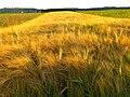 Barley - panoramio (5).jpg