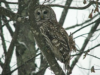 Chequamegon-Nicolet National Forest - A barred owl along a highway in the Nicolet National Forest.