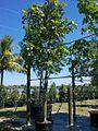 Bauhinia Tomentosa (St. Thomas Tree, Yellow Bauhinia) (28260567993).jpg