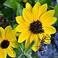 Beach Sunflower (Helianthus debilis) (6421872077).jpg