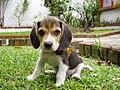 Beagle puppy sitting on grass.jpg