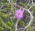 Beaufortia empetrifolia.jpg