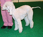 Bedlington terrier 234.jpg