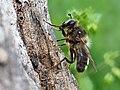 Bee-mimicking hoverfly (Criorhina pachymera), Serra de Malcata near Penamacor, Portugal (33813883278).jpg