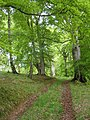 Beech Wood, Broomyknowe Plantation - geograph.org.uk - 815810.jpg