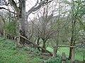 Beech tree by broken fence - geograph.org.uk - 1246381.jpg