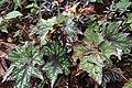Begonia rex 1zz.jpg