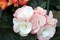 Begonia x hiemalis Camilla 98 0zz.jpg