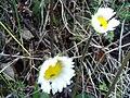 Bellis annua Closeup 2010-2-15 SierraMadrona.jpg