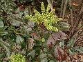 Berberis aquifolium 116160232.jpg