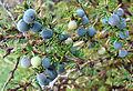 Berberis empetrifolia, fruit (8625238212).jpg