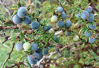 Berberis empetrifolia - Image: Berberis empetrifolia, fruit (8625238212)