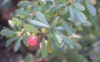 Berberis wilsoniae branch