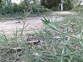 Bermudagrass1.jpg