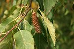 Betula-albosinensis-fruits.jpg