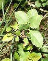 Betula humilis