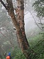 Betula utilis - Bhoj Patra Tree on way from Gangria to Valley of Flowers National Park - during LGFC - VOF 2019 (2).jpg
