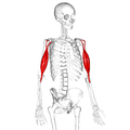 Biceps brachii muscle17.png
