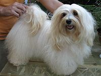Havanese dog - Wikipedia