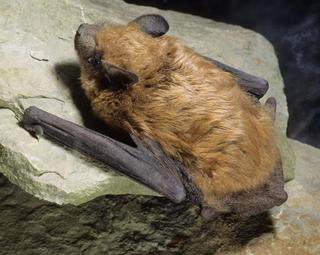 Big brown bat Species of vesper bat (Eptesicus fuscus)