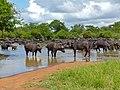 Big herd of Buffaloes (Syncerus caffer) at waterhole (12750934614).jpg