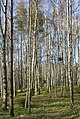 Birch forest with birds nest Gullmarsskogen.jpg
