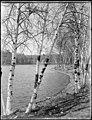 Birch trees at Spot Pond - DPLA - 7bce99b51a14e853ee9bea6fad2689cb.jpg