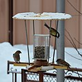 Birds at a birdfeeder in Botevgrad, Bulgaria 04.jpg