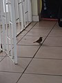 Birds of Barbados 002.jpg