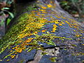 Bisporella citrina 27128.jpg