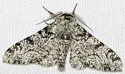 Biston betularia morpha typica, the standard light-coloured Peppered Moth.