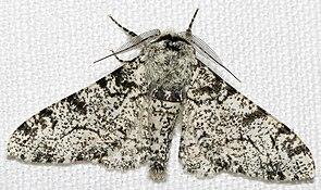 Birkenspanner (Biston betularia)