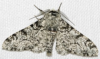Phenotype - Biston betularia morpha typica, the standard light-colored peppered moth