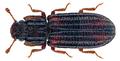 Bitoma subfasciata Sharp, 1894 (28310337764).png