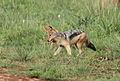 Black-backed jackal, Canis mesomelas, a young one playing with a root as a puppy plays with a ball at Rietvlei Nature Reserve, Gauteng, South Africa (15850255930).jpg