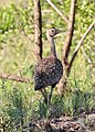 Black-bellied bustard in Kruger National Park 02.jpg