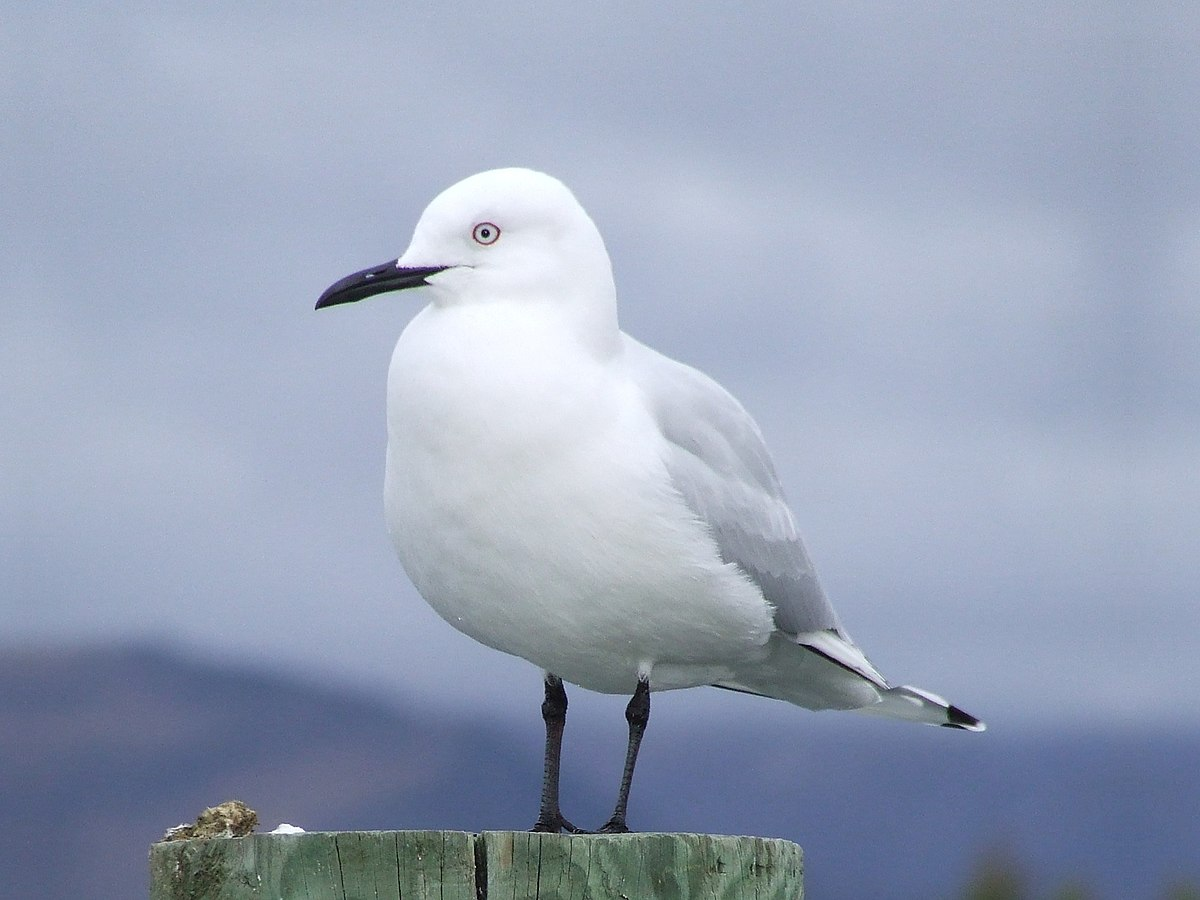Black-billed gull - Wikipedia