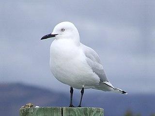 Black-billed gull species of bird