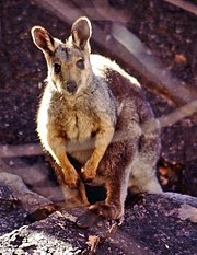 Black-flanked Rock-wallaby (Petrogale lateralis).