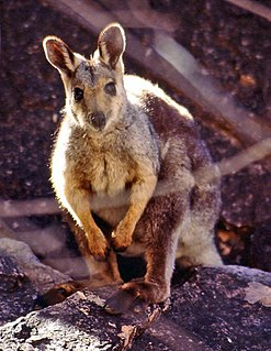 Black-flanked rock-wallaby species of mammal