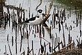 Black-necked Stilt Anahuac NWR High Island TX 2018-04-06 10-11-06 (41470716511).jpg