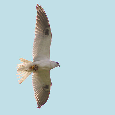 Flying with a mouse in its talons. Also showing small black underwing patches visible in flight Black-shouldered Kite.jpg