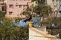 Black Kite perched on pot, India.jpg