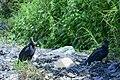 Black Vultures (45255065315).jpg