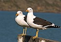 Black back gulls.(Larus dominicanus) (30142527461).jpg