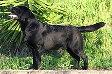 Black labrador retriever.jpg