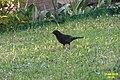 Blackbird (NH266) (21989738456).jpg